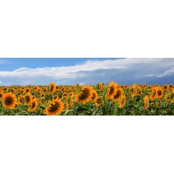 """Ferrua""""Girasoli in Val D'Orcia""""quadro fotografico d'Autore Originale con campo di girasoli panoramico"""