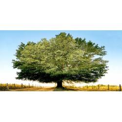 """Ferrua""""Un secolo di tramonti"""" awesome Oak Tree art picture for Home Decor"""