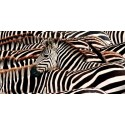 "Pangea Images ""Herd of Zebras"" high quality print"