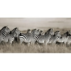 "F. Krahmer "" Grant's Zebra, Masai Mara, Kenya""-Quadro Fotografia di Zebre Stampa Originale d'Autore"