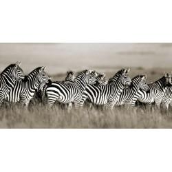 "F. Krahmer "" Grant's Zebra, Masai Mara, Kenya"""