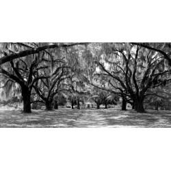 "Anonimo ""Avenue of Oaks,South California"" Quadro Stampa Alta Risoluzione con alberi"