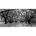 """Anonimo """"Avenue of Oaks,South California"""" Quadro Stampa Alta Risoluzione con alberi"""