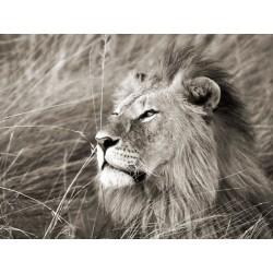 African Lion, Masai Mara, Kenya,Quadro Pronto con Stampa Fine Art per Soggiorno, Ufficio o altro
