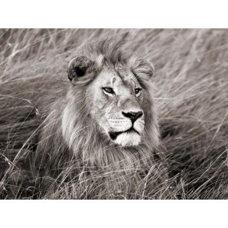 African Lion, Masai Mara, Kenya II,Quadro Pronto con Stampa Fine Art per Soggiorno, Ufficio o altro