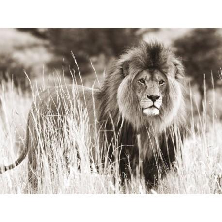 Male Lion, ANONYMOUS ,Quadro Pronto con Stampa Fine Art per Soggiorno, Ufficio o altro