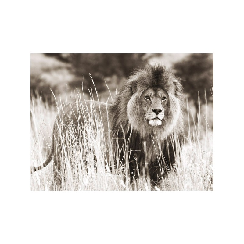 Male Lion, ANONYMOUS in Misure Diverse, Stampeequadri.it
