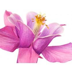"""Krahmer""""Iris Viola"""" Fotografia ad Alta Risoluzione su Supporti Diversi con Misure a Scelta"""