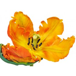 "Krahmer""Parrot Tulip"",Photographic Picture with Big Yellow Flower for Home Decor"